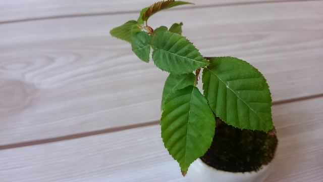 bonsai-higashiyamatakuto-matsukonoshiranaisekai